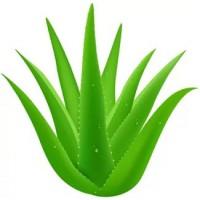 Это растение поможет отрегулировать уровень холестерина в крови